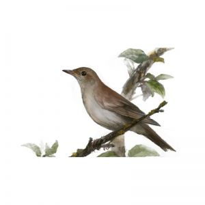 Birds of Russia: The Thrush Nightingale
