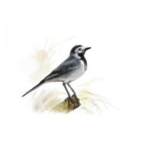 Birds of Russia: The Wagtail