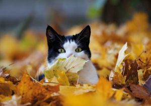 Cat in maple leaves