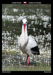 Fauna of Poland: White stork