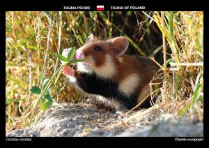 Fauna of Poland: European hamster