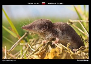 Fauna of Poland: Bicoloured white-toothed shrew