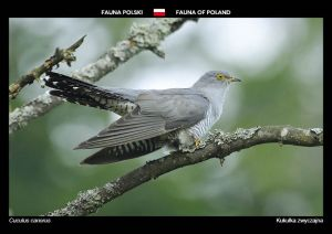 Fauna of Poland: Common cuckoo