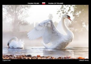 Fauna of Poland: Mute swan
