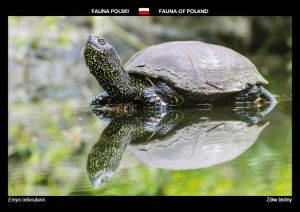 Fauna of Poland: European pond turtle