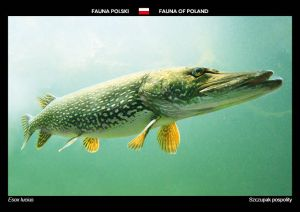 Fauna of Poland: Northern pike