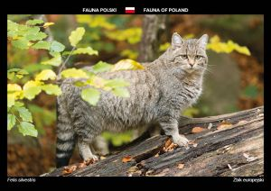 Fauna of Poland: Wildcat