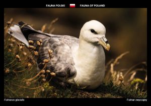 Fauna of Poland: Northern fulmar
