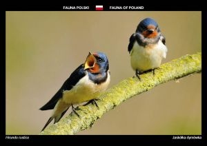 Fauna of Poland: Barn swallow