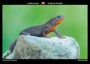Fauna of Poland: Alpine newt