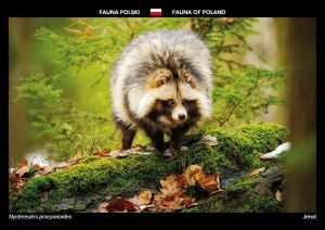 Fauna of Poland: Raccoon dog