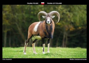Fauna of Poland: Mouflon