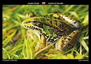 Fauna of Poland: Marsh frog