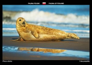 Fauna of Poland: Common seal