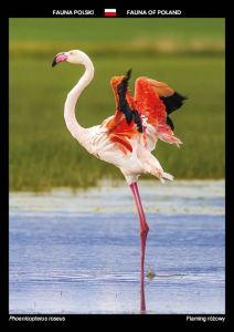 Fauna of Poland: Greater flamingo