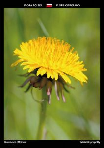 Flora of Poland: Dandelion