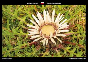 Flora of Poland: Stemless Carline Thistle