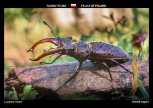 Fauna of Poland: Stag Beetle