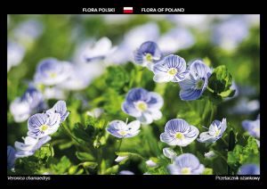 Flora of Poland: Germander speedwell
