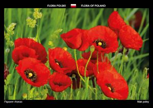 Flora of Poland: Red poppy