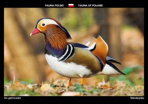 Fauna of Poland: Mandarin duck
