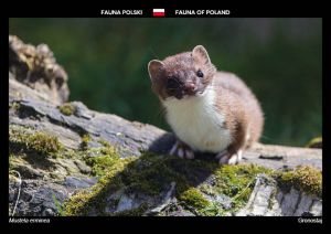 Flora of Poland: Stoat