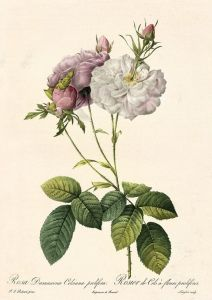 Rosa Damascena Celsiana prolifera