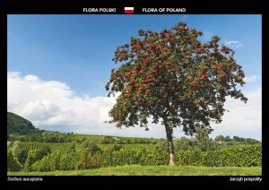 Flora of Poland: Rowan