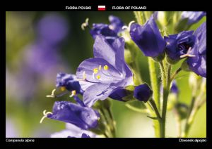 Flora of Poland: Bellflower
