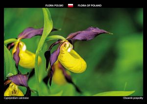 Flora of Poland: Lady's slipper orchid