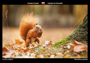 Fauna of Poland: Red squirrel