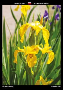 Flora of Poland: Yellow iris