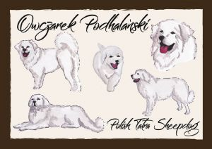 Polish Dog Breeds - Polish Tatra Sheepdog