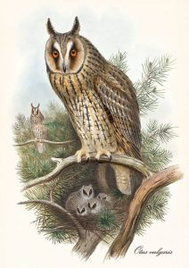 Otus vulgaris - Long-eared owl