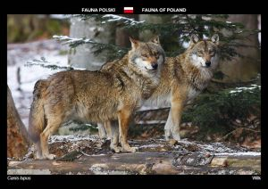 Fauna of Poland: Wolf