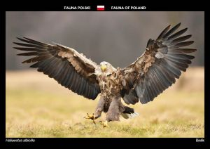 Fauna of Poland: White-tailed eagle