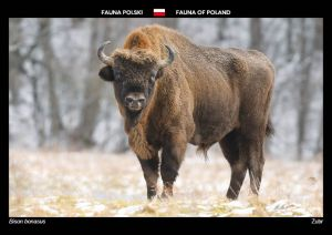 Fauna of Poland: European bison