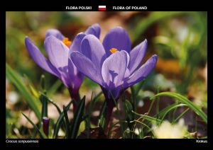 Flora of Poland: Crocus