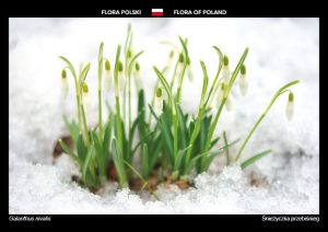 Flora of Poland: Snowdrop