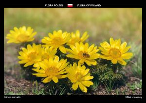 Flora of Poland: Pheasant's eye
