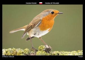 Fauna of Poland: European Robin