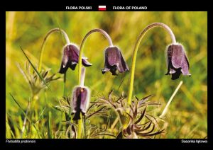 Flora of Poland: Small pasque flower