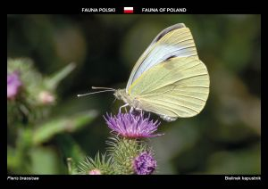 Fauna of Poland: Cabbage butterfly