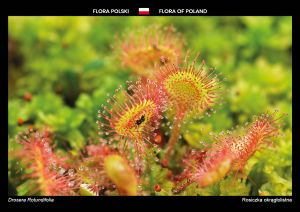 Flora of Poland: Round-leaved sundew
