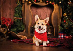 Christmas Welsh Corgi
