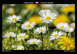 Flora of Poland: Common daisy