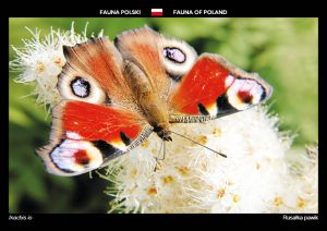 Fauna of Poland: European peacock