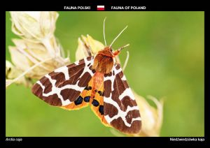 Fauna of Poland: Garden tiger moth