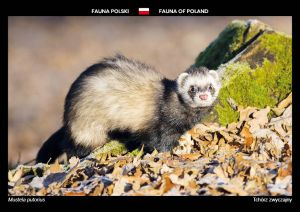 Fauna of Poland: European polecat