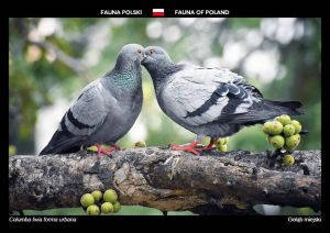 Fauna of Poland: City pigeon
